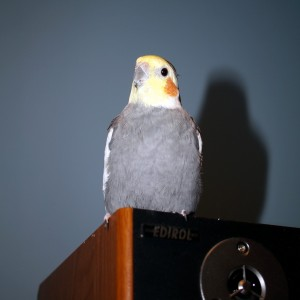 Herman, my pet cockatiel posing for the camera.